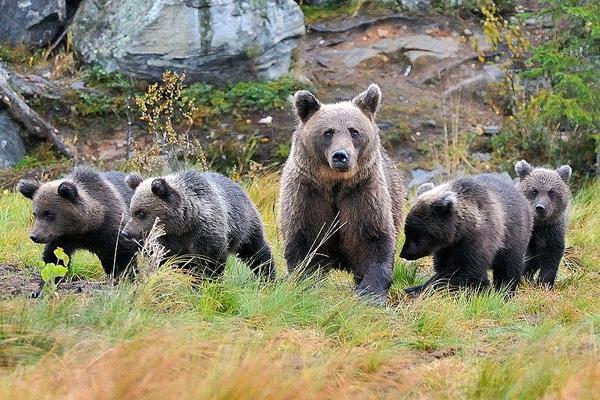 Bärenbeobachtungen und die anderen Schönheiten des sommerlichen Skandinaviens