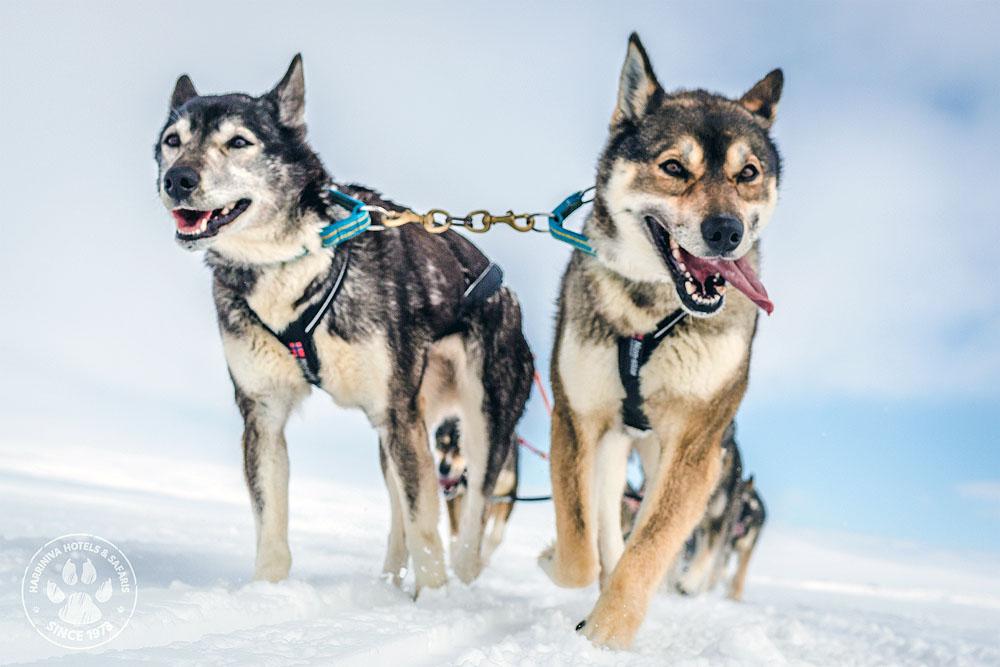 Husky Erlebniswochenende in Lappland: Unterwegs mit Schlittenhunden und Schneemobil